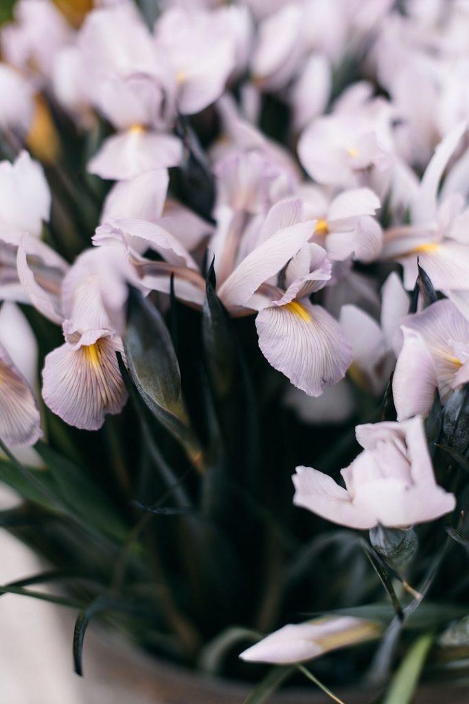 iris farfalle rare fiorista online